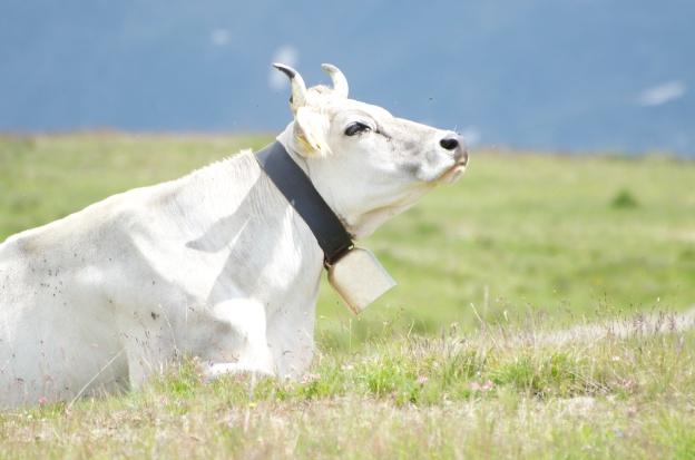 vacca al sole (e non è la costa smeralda)